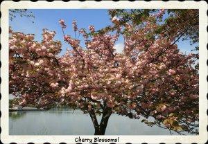 IMG_1576 Cherry Blossom Tree