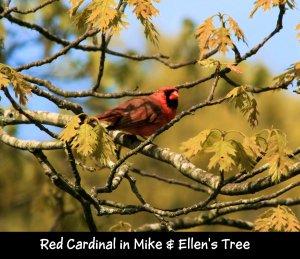 IMG_1794 Cardinal crop