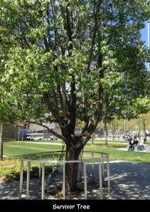 IMG_3569 Callery pear survivor tree