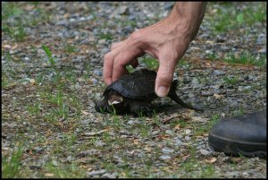 IMG_1820 Snapping Turtle