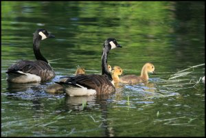 IMG_1837 geese family