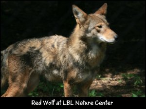 IMG_2129 Red Wolf molting female