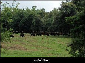 IMG_4162 LBL Bison herd