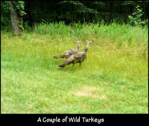P1160056 wild turkeys on roadside