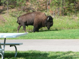 Bison in campground!