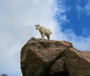 Rocky Mountain Goat on Mt. Evans