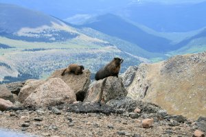Yellow Bellied Marmots on Mt. Evans