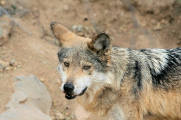 Mexican Red Wolf at Sonora Desert Museum