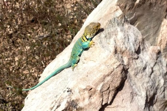 Yellow Collared Lizard