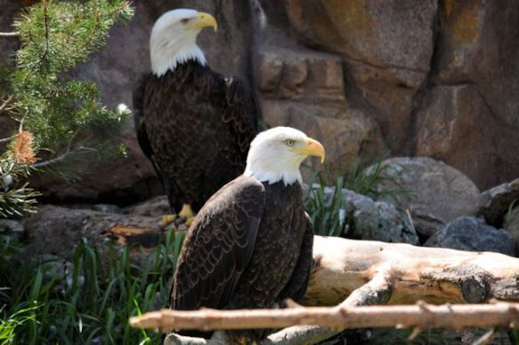 Grizzly and Wolf Discovery Center - Bald Eagles