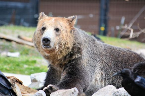Grizzly and Wolf Discovery Center - Grizzly