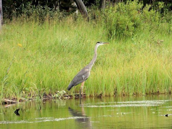 Bird - Heron