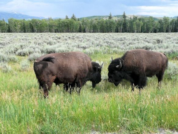 Bison head to head