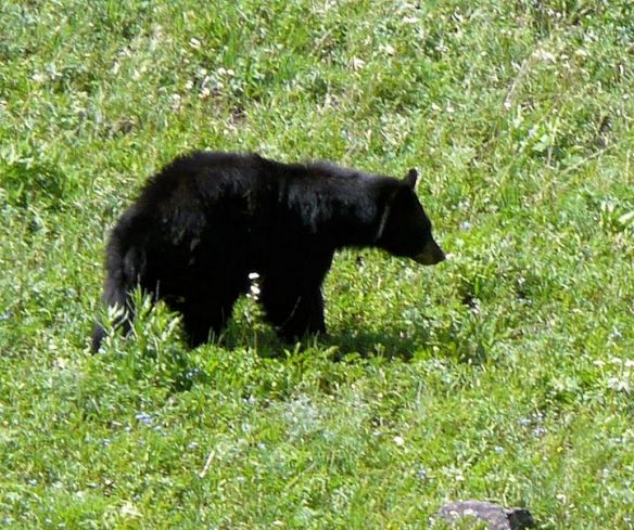 Black Bear grazing 2