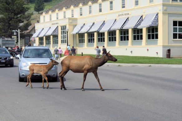 Elk in Mammoth Hot Springs crossing road