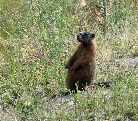 Garrett spotted this little Marmot