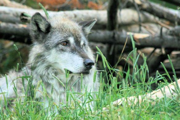 Wolf in Habitat
