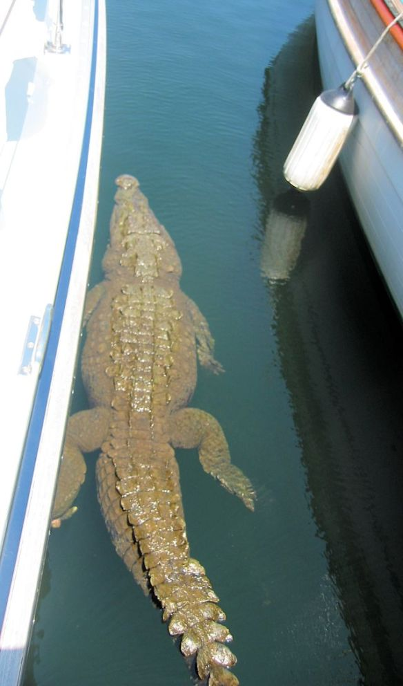 THIS is not what you want to see next to you!  Crocodile in Ixtapa MX.