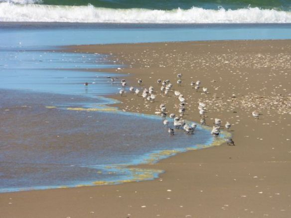 Coast Sand Birds