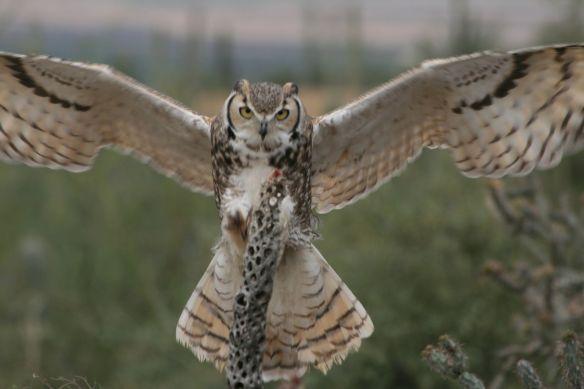 Owl Alighting