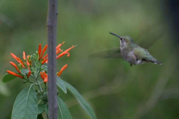 In The Hummingbird Garden of the Sonora Desert Museum