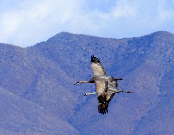 Sandhill Cranes Flying (photo courtesy Jane Forster)