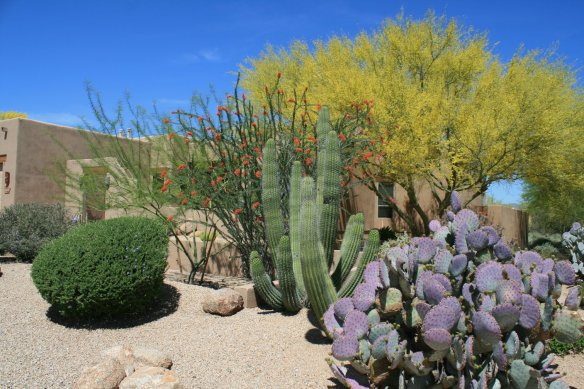 Diane's front yard confirms that it is Springtime in the desert