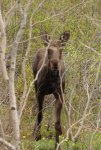 12 Moose