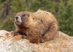 13 Marmot