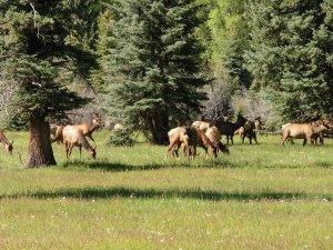 14 Elk herd